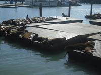 Seeroben am Pier 39