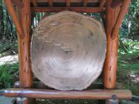 Baumriesen im Muir Woods