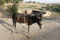 Usbekischer Esel