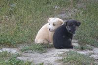 Hunde in Karakol
