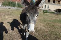 Esel in Kirgisistan