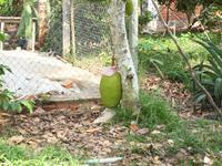 Ausflug ins Mekongdelta - Jackfrucht