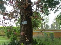 Phnom Penh, Königspalast - Kanonenkugelbaum