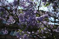Jacaranda-Blüte in Pretoria