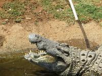 Krokodilfarm in Sun City