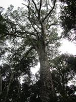 Tsitsikamma National Park Big Tree
