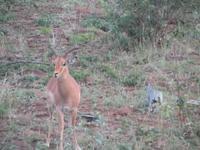 Krüger Nationalpark Impala