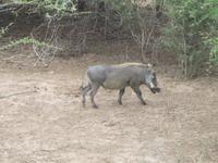 Krüger Nationalpark Warzenschwein