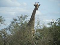 Krüger Nationalpark Giraffe