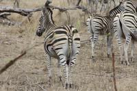 Safari im Kruger Nationalpark