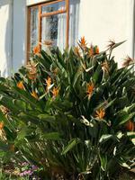 Paradiesvogelblume Strelitzia regia