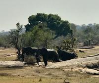 Krüger Nationalpark: Afrikanischer Elefant