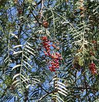 Pfefferbaum Schinus Früchte