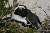 Boulders Beach - Pinguinkolonie