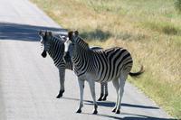 Krüger-Nationalpark - Zebrastreifen