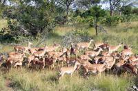 Krüger-Nationalpark - Impalas
