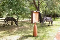 Zebras im Resort