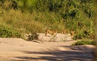Spielende Löwenfamilie