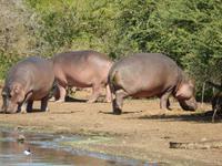 Flusspferde - Kruger-NP