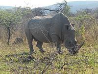 Nashorn Nahaufnahme