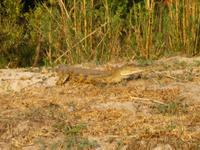 Sambesi Krokodil