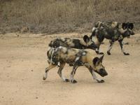 seltene Wildhunde