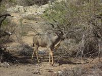 posierliches Kudu
