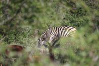 492 Safari im Krüger-Nationalpark - Zebra