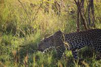 523 Safari im Krüger-Nationalpark - Leopard