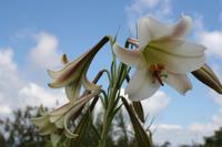 Trompetenblume, die ursprünglich aus Taiwan stammt