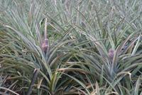 Baby-Ananas-Plantage