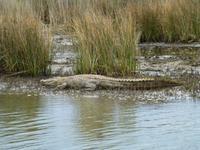 267_Krokodils-Beobachtung