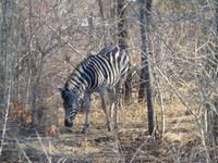 451_Erste Pirschfahrt im Kruger-Nationalpark