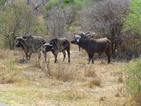 460_Erste Pirschfahrt im Kruger-Nationalpark