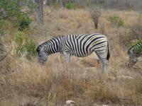 518_Zweite Pirschfahrt im Kruger-Nationalpark