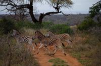 Mkhaya Game Reserve - Safari - Zebrastreifen