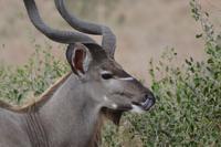Kudu Bulle