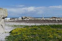 Lamberts Bay, Kaptölpelkolonie
