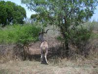 Kruger NP XVII