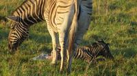 Safari im Kariega Wildreservat, Zebra-Geburt