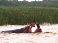 Regentag = Freudentag für die Hippos