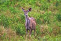 Ausflug nach Cape Vidal - Kudu