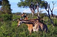 Mhkaya Reservat - Giraffen