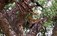 Empfangskomitee - Leopard
