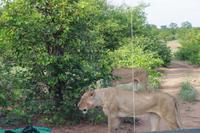 Südafrika - Timbavati Wildreservat