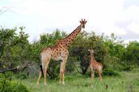 Giraffenmama mit Baby
