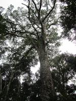 Tsitsikamma National Park Big Tree